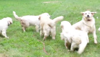 Watching Seven Golden Retrievers Play With A Water Sprinkler Is All Our Hearts Ever Wanted