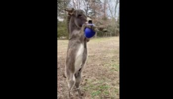 Donkey Gets A New Ball, Falls Head Over Hooves In Love With It