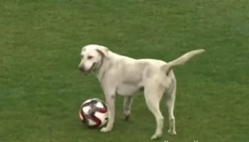 Dog Brings Soccer Game To An Absolute Standstill As It Rushes Around The Field After The Ball