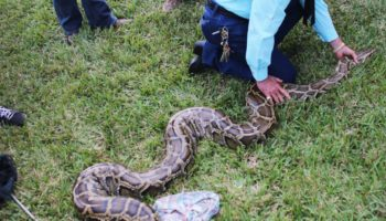 Stalking Killer Pythons With Florida's Bounty Snake Hunters