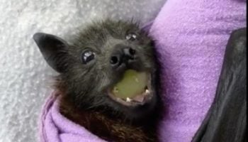 This Baby Fruit Bat Eating A Grape Is The Cutest Thing You'll See Today