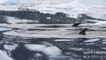 Scientists Attached Cameras To 30 Antarctic Whales And The Footage From Their Perspective Is Amazing