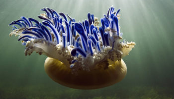 The Upside Of Upside-Down Jellyfish