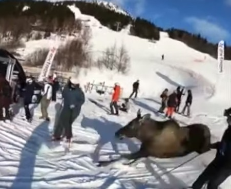 Moose Shocks Skiers By Sprinting Down Ski Slope