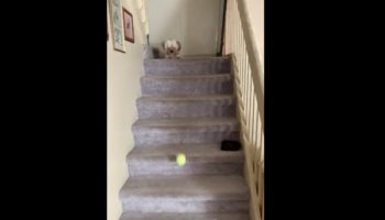 Extremely Resourceful Dog Uses Stairs To Play Fetch With Himself