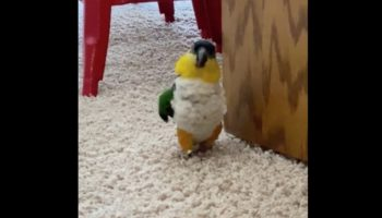 Is This Parrot Planning To, Uh, Murder Its Owner?
