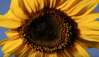 Watch A Sunflower Burst Into Bloom In Tiny Waves In This One-Minute Time Lapse