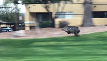 Watch This Javelina Make A Mad Dash Through This Tucson Neighborhood