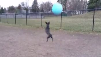 Little Dog Loves His Big Ball So Much