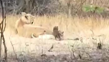 Lioness Adopts Leopard Cub And 'Cares For It Like Her Own'