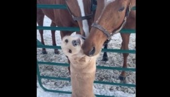 Please Enjoy This Perfect Video Of A Golden Retriever Getting Nuzzled By Horses