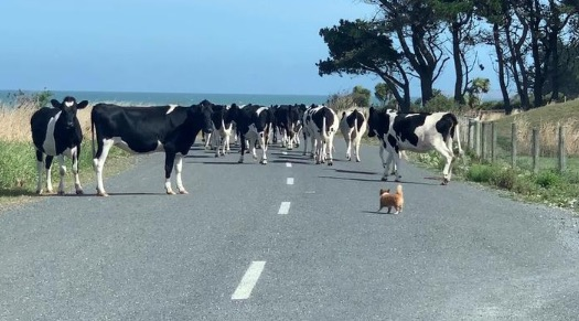 Fearless Pomeranian Chihuahua Hilariously Herds Cows That Got Out Of Their Pen