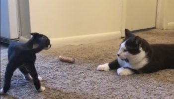 Kitten Meets Full-Sized Cat For The First Time And Is Completely Fascinated