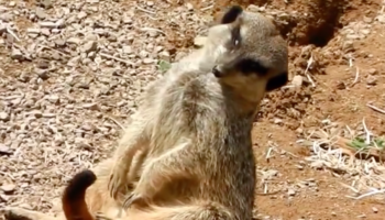 Watch This Meerkat Sit Like A Human And Adorably Fail At Staying Awake