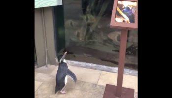 Penguin Gets To Explore The Shut-Down Shedd Aquarium, Has Its Mind Blown By Fish Tank