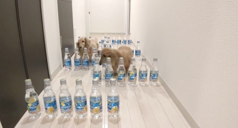 This Maze Of Water Bottles Proves There's Two Types Of Dogs