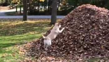 This Dog Loves Jumping Into This Pile Of Leaves More Than Anything In The World