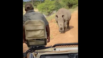 This Safari Group Was Probably Excited About Spotting A Rhino Up Close, But Then The Rhino Started Chasing After Them