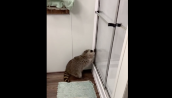 Man's Shower Is Interrupted By Adorable Raccoon That Really Wants To Play
