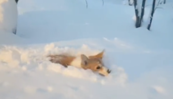 Watching This Corgi Struggle To Walk Through Deep Snowfall Is Simply Delightful