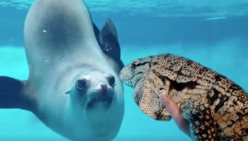 Watch This Seal Have An Epic Stare Down With A Tegu Lizard