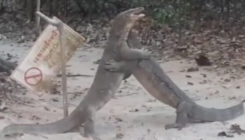 Monitor Lizards Duke It Out Over Territory In Reptilian Royal Rumble