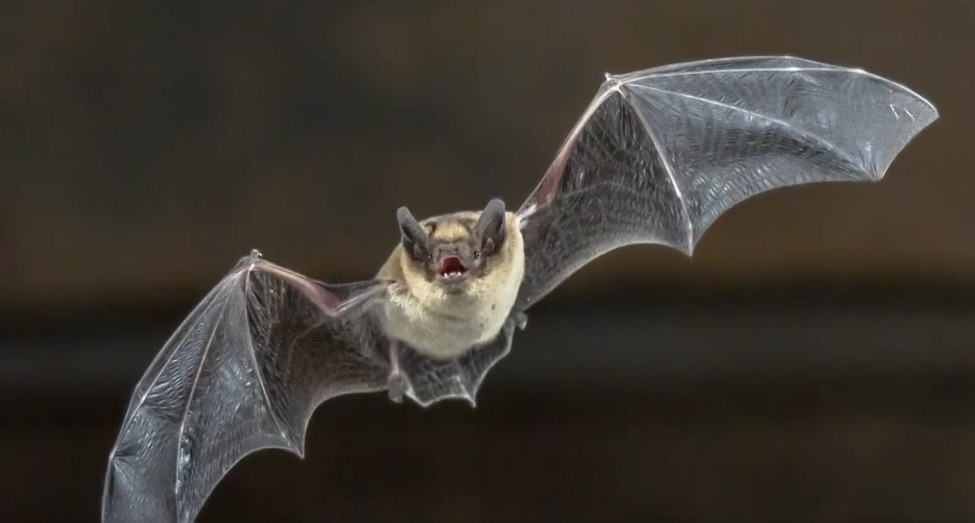 Why Do Bats Carry So Many Human-Infecting Diseases?
