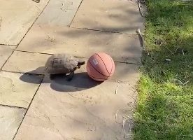This Turtle Pushing A Basketball With Its Snout Might Be The Cutest Thing You'll See Today