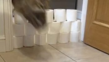 We Can't Stop Watching This Video Of These Two Cats Jumping Over An Increasingly Taller Wall Of Toilet Paper