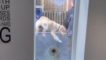 Dog Shows Off Its Virtuosic Athleticism On The Trampoline, Completely Overshadows Its Owner