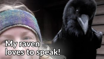 Here's A Short, Remarkable Video Demonstrating How Ravens Can Speak