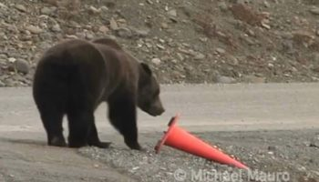 Extremely Helpful Bear Fixes Fallen Safety Cone