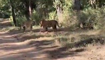 Here's An Intense, Territorial Fight Between Two Tigers Caught On Camera