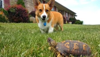 Corgi Realizes A Rock Is A Turtle And Has Its World Rocked