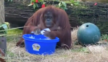 Orangutan Sees Her Caretakers Washing Their Hands All The Time Now, So She Adorably Copies Them