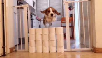 Beagle Attempts The Toilet Paper Challenge And After A While Is Just Like 'Forget This'