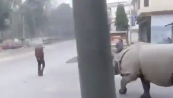 Oblivious Guy Doesn't Notice Rhino Ambling Towards Him, Nearly Gets Squashed
