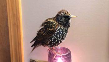 Bird Rehabber Teaches European Starling To Speak Words, And It's Pretty Wild