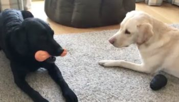 Watch This BBC Sports Broadcaster Give Colorful Commentary Of His Dogs Fighting Over A Chew Toy