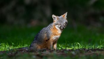 The Uplifting Tale Of These Tiny Island Foxes, Nearly Wiped Out By Disaster