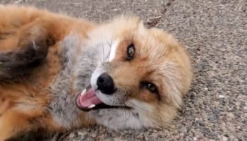 Watch This Fox Laugh Adorably After Being Pet