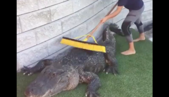 Watching An Alligator Get Brushed Is Oddly Satisfying