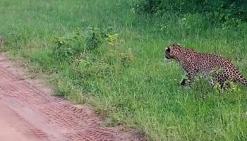 Rabbit Cheats Death From Hungry Leopard By Mere Feet