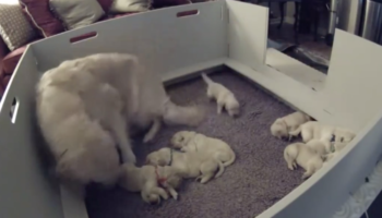 The Wholesome Moment When A Golden Retriever Notices Her 2-Week-Old Puppy Can't Find Her