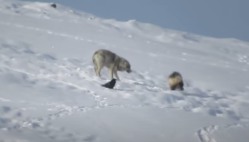 Cheeky Wolverine Has The Gall To Bite A Wolf's Tail
