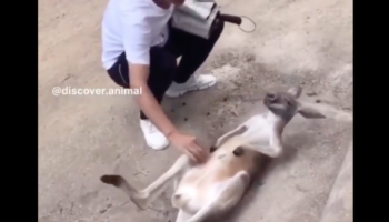 Kangaroo That Really Wants Belly Scratches Teaches Guy How To Best Scratch Its Tummy