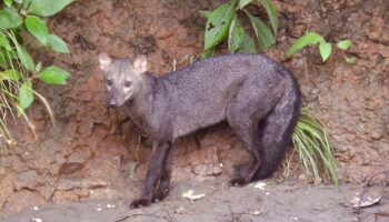The Ghost Dogs Of The Amazon Get A Bit Less Mysterious