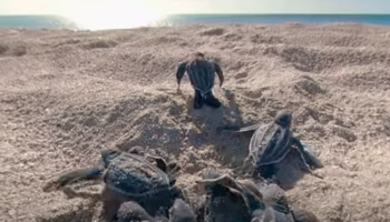 Watch These Baby Turtles Hatch And Make Their Way To Sea For The First Time