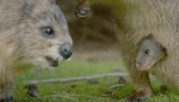 Animatronic Spy Marsupial Spots A Baby Quokka In His Mother's Pouch