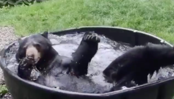 This Video Of A Bear Playing In A 300-Gallon Tub Is Insanely Therapeutic